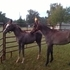 2 Handsome Arabian Geldings Free To Verifiable Good Home