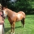 Beautiful Quarter Horse Mare