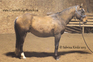 Quarter Horse for sale in Canada