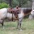 GENTLE, BROKE, SOUND 2007 Grey QH Gelding