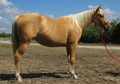 Super flashy and well bred dapple palomino filly
