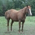 AQHA Stallion and 4 other horses for sale