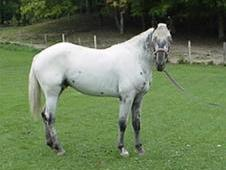 Ghostwind Stallion, leopard fewspot at stud
