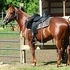 GORGEOUS SHINING SPARK- REMINIC BRED MARE