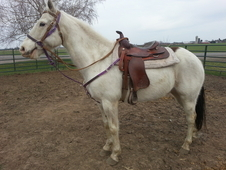 White Green Broke Gelding