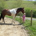 Kid Friendly All around Beginner Tennessee Walker Trail and Show Horse!