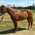 2004 Solid APHA mare. Show & trail experienced.