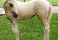 Palomino Spotted Walking Horse