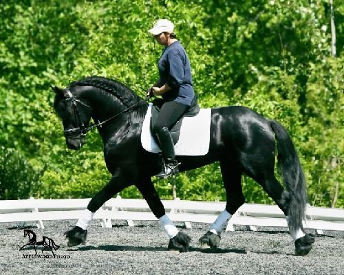 Beautiful Premium Dressage Stallion At Stud