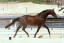 Grand Prix Selle Fracais Jumper Stallion At Stud for sale in United States of America