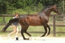 Grand Prix Selle Fracais Jumper Stallion At Stud for sale