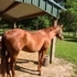 Beautiful Chestnut QH Mare