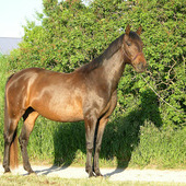 Arabian/Russian Warmblood mare started under saddle
