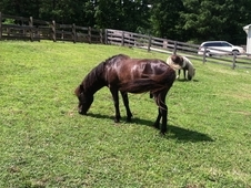 TIME TO DOWN SIZE - MINIATURE HORSES AND MINIATURE DONKEY'S $100
