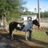 Really Nice 13 year old APHA Black & White Paint Mare Trained by Ronnie Ford Trainning