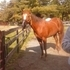 Gentle Giant APHA Trail Horse Gelding - Anyone CAn Ride