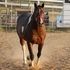 big Stout Gorgeous 9 YR Paint Mare