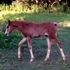 Pinto purebred Arabian filly