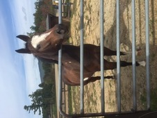 Handsome Paint Gelding FOR SALE