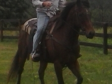 Nice Bay Trail Horse Gelding, 7 yr old 14. 3