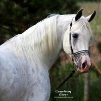 Tall and Bold, Egyptian Event Top 5 World Class stallion. SE