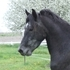 Sweet flashy Friesian/Arabian cross