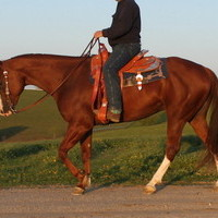 AQHA/APHA show/trail gelding, quiet, well broke