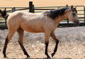 Buckskin filly all around prospect