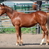 Chestnut Filly with a Pedigree to Rope, performance events , or run barrels