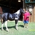 2014 APHA Black and White Tobiano Colt by Fantasys Moon Raker