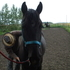 Superb Tennessee Walking horses Gelding