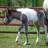 Handsome black pinto colt