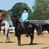 Tennessee Walking Horses for sale Trail or Show