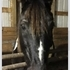 Gaited Tennessee Walker Gelding- Parades, Trail, 4-H, Color Guard, Contesting, etc.