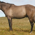 Grulla stallion with your choice of mares