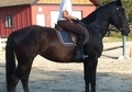 Talented Tb/percheron cross