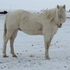 GREAT DEAL!!!  GENTLE CREMELLO STALLION
