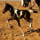 One of a Kind 1/2 Andalusian Gaited Pinto Filly !