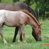 Red roan filly #10