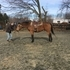 Buckskin QH g great on trails nice mover