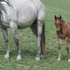 GORGEOUS bay roan filly ~ BRED TO PERFORM!