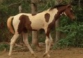 Bay Tobiano Pintabian Filly