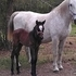 Andalusian - Lipizzaner cross