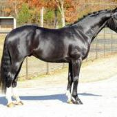 Don De Marco Black Oldenburg Stallion