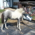 Gray and White Filly
