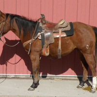 2010 Bay Gelding X Resort To Baron (Popular Resortfigure)