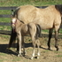 GORGEOUS buckskin filly! REINING & RUNNING BRED!