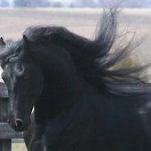 17 H Friesian AT STUD SPRING SPECIAL Buy 1 Get 1 1/2 Off