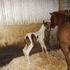 2014 sorrel tobiano filly