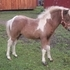 2014 silver bay pinto filly with one blue eye for sale!